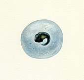 Amphibian egg, illustration