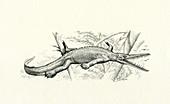 Mesosaurus prehistoric marine reptile, illustration