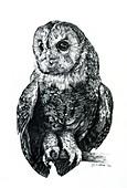 Tawny owl, illustration