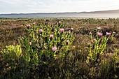 Protea compacta flowers
