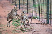 Collared cheetahs alongside a boundary fence