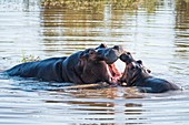 Hippo mother and calf playing