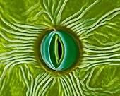 Stoma of a milkweed leaf (Asclepias spp.), SEM