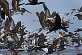 Brown pelicans flying over a beach