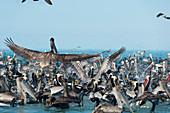 Pelicans and cormorants feeding