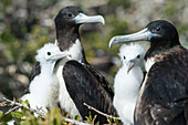 Magnificent frigate bird mothers and chicks