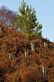 Restoring Scottish woodlands