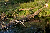 Trees felled by European beavers