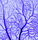 Purkinje nerve cell dendrites, confocal micrograph
