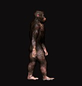 Australopithecus garhi male, illustration