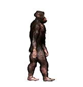 Australopithecus garhi male, illustration