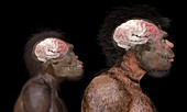Homo brain comparisons, illustration