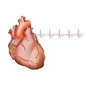 Healthy human heart, illustration