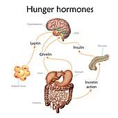 Appetite and hunger hormones, illustration