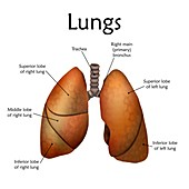 Human lungs, illustration