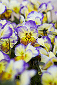 Lila-gelb blühende Hornveilchen 'Penny Primrose Picotee'