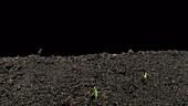Oat plants, timelapse