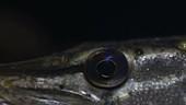 Pike's eye underwater