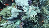 Red Sea corals and reef fish
