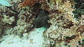 Red Sea corals and eel