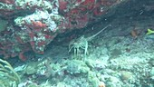 Crustacean on a coral reef