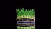 Grass growing in container