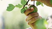 Person pflückt grüne Birne vom Baum