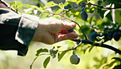 A person picking plums