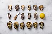 Frische Austern mit Austernmesser und Zitrone aufgereiht auf weißem Untergrund