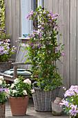 Waldrebe 'Aljounushka' an Rankstele unterpflanzt mit Frauenmantel