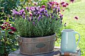 Schopf-Lavendel 'Otto Quast' in Holz-Jardiniere