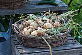 Korbschale mit geernteten und zum Zopf geflochtenen Zwiebeln