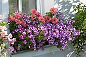 Balkonkasten mit Petunie 'Raspberry Star' und Zinnie am Fenster