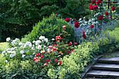 Rosen mit Frauenmantel und Buchsbaum im Beet