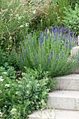 Blühender Ysop und Fetthenne neben Treppe