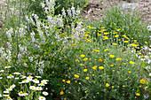 Naturgarten mit Färberkamille, Geißraute und Kamille