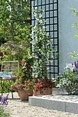 Töpfe mit Sternjasmin und Dipladenie unterpflanzt mit Zauberglöckchen