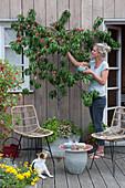 Pfirsich, Weinbergpfirsich 'Saturne' auf der Terrasse