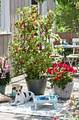 Terrasse mit Johannisbeeren und Balkonblumen