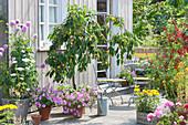 Terrasse mit Kirschbaum 'Dönissens Gelbe Knorpelkirsche' und Johannisbeere