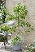 Pfirsichbaum 'Früher roter Ingelheimer'  unterpflanzt mit Zauberschnee