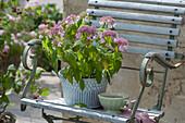 Japanische Tee-Hortensie auf Stuhl gestellt