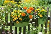 Blechgefäße mit Mädchenauge, Zinnie und Rosmarin am Gartenzaun