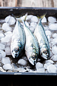Three fresh mackerel on ice