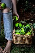 Äpfel der Sorte 'Bramley' in Weidenkorb, daneben Frau in Jeanshose