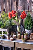 Weihnachtsdekoration mit Amaryllis, Tannenzweigen und Zapfen