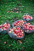 Körbe mit Äpfeln in einem Garten