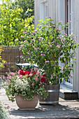 Taubnessel 'Pink Chablis', Engelsgesicht 'Pink Improved' und Geranie
