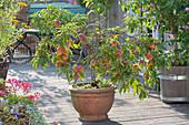 Zwergpfirsich 'Bonanza' mit vielen Früchten