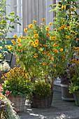 Gelbes Arrangement : hohe Studentenblume, Goldstaubpflanze und  Sonnenhut